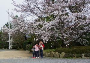 Sakuratomago2013