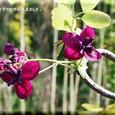 アケビ(赤花)・・2010.4.15