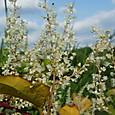イタドリの花・・2012.923