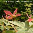 楓の種・・08・5.26