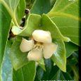 柿の花・・08.5.17