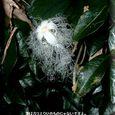 カラスウリの花・・07.9.13