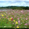 コスモス畑・・07.10.1