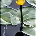 コウホネ(河骨)・・09.6.1