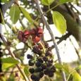 ミツバアケビの花・・09.4.8