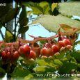 ナツハゼの花・・08.5.22
