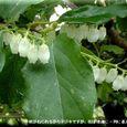 ネジキの花・・08.5.29
