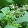 オナモミの花・・2012.9.23