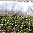 オオイヌノフグリ・・09.2.4