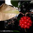 美男葛の実・・08.1.5