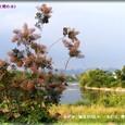 スモークツリー(煙の木)・・09.6.17