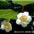 マタタビの花・・07.6.12