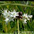 ノビル(野蒜)の花・・07.6.2