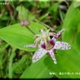 ヤマジノホトトギス・・2010.9.16
