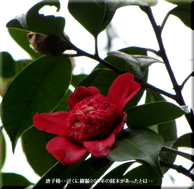 唐子椿(カラコツバキ)・・2010.3.5