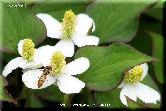 ドクダミ・・09.5.22