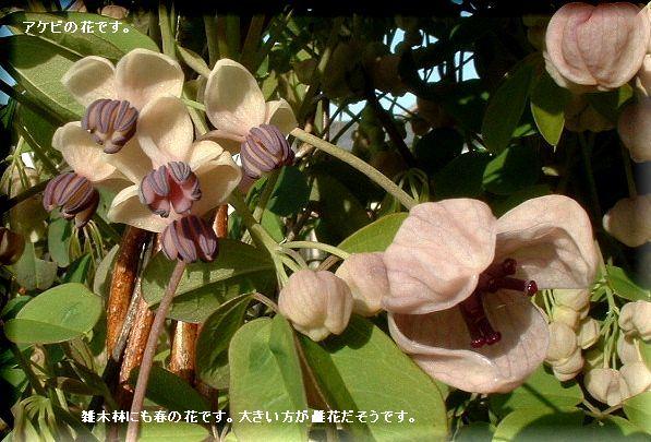 アケビの花・・08.4.11