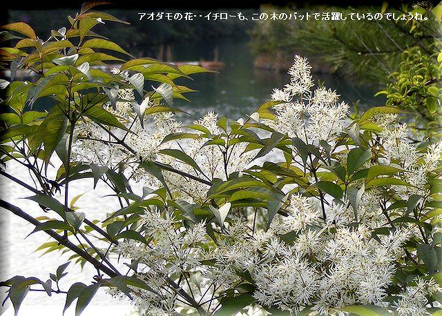 アオダモの花・・09.4.22
