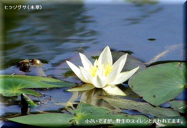 ヒツジグサ・・08.7.1