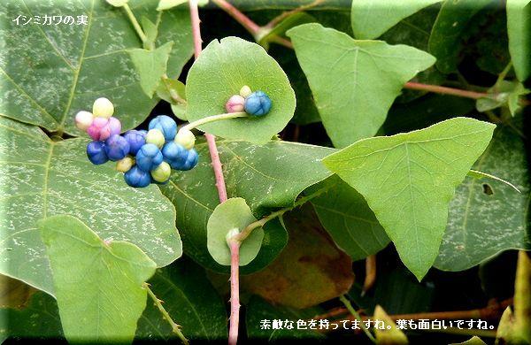イシミカワの実・・08.9.26