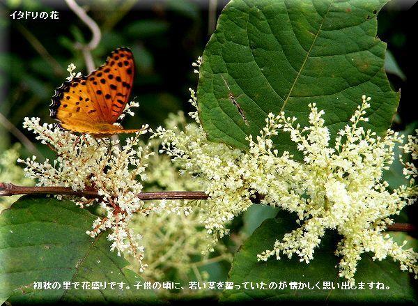 イタドリの花・・08.9.13