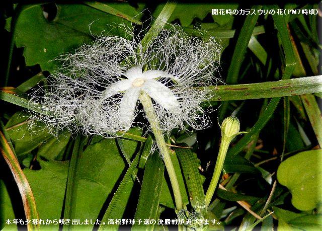 カラスウリの花・・08.7.17
