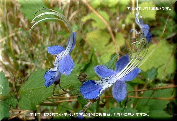 カリガネソウ(雁草)・・07.10.15