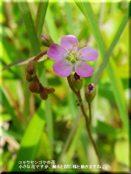 コモウセンゴケの花・・2010.6,1