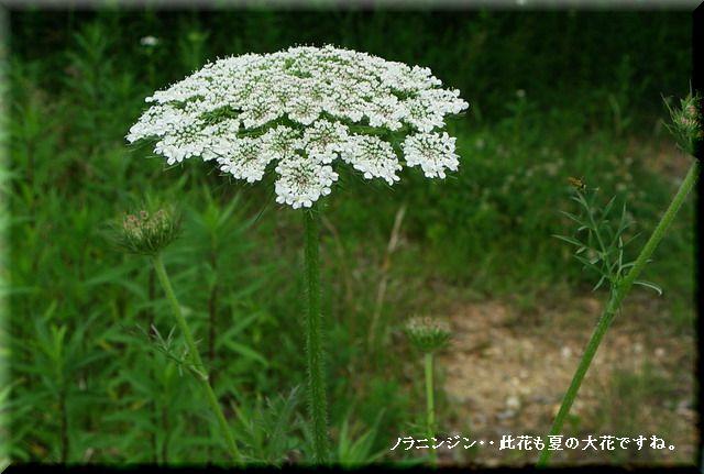 ノラニンジン・・2010.6.20