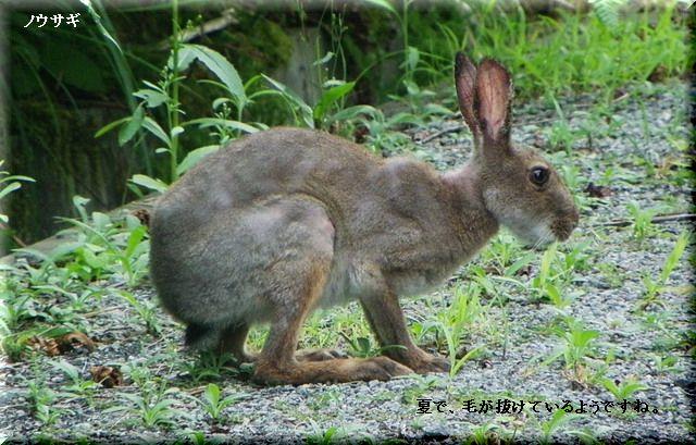ノウサギ・・2010.9.9