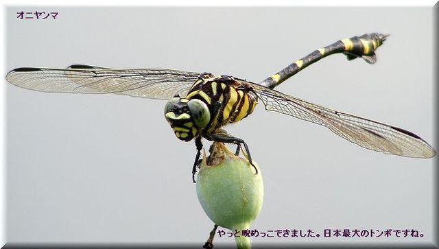 オニヤンマ・・08.8.6