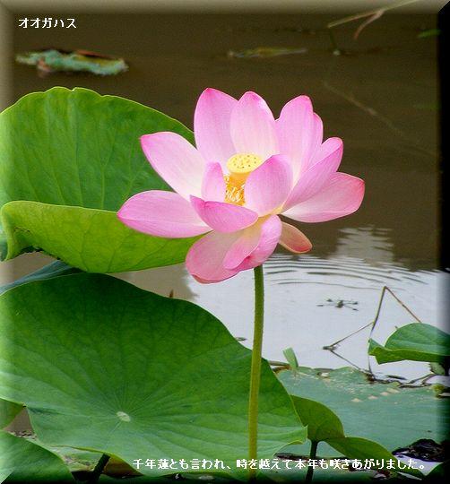 オオガハス(大賀蓮)・・08.6.26