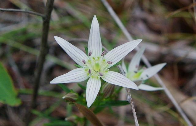 6花弁のセンブリ・・2012.10.30