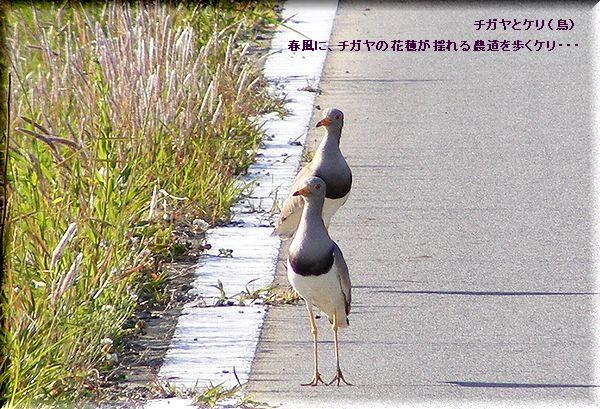 チガヤとケリ(鳥)・・09.5.15