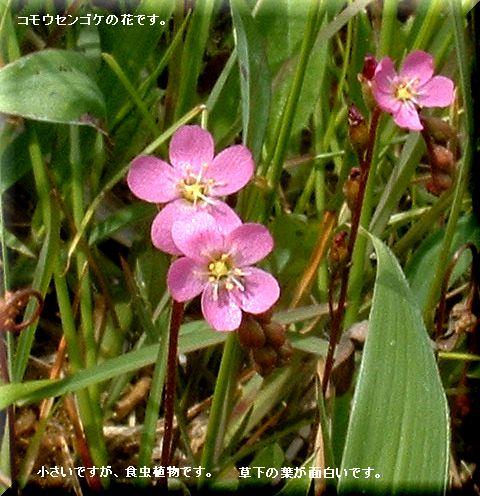 コモウセンゴケの花・・07.6.4