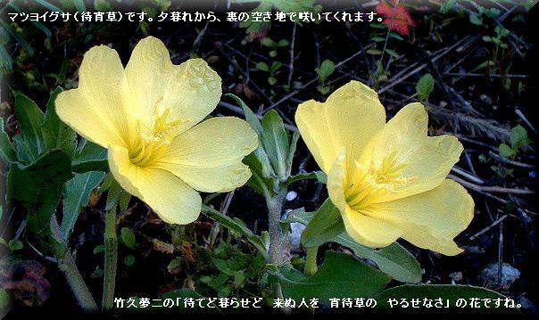 マツヨイグサ・・07.5.7