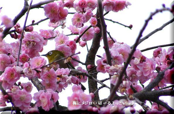 梅にメジロ・・09.3.1