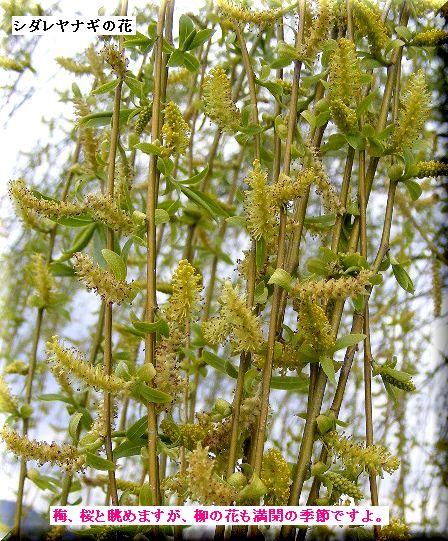 枝垂れ柳の花・・09.3.23